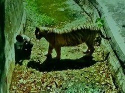 Watch Video Student Killed By White Tiger After Falling Inside Zoo Enclosure