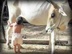 Cow S Milk Can Deliver Aids Drug Infants