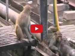 Monkey Saves Dying Friend At Kanpur Railway Station
