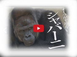 Meet Star Gorilla Who Is Giving Tough Fight To Film Stars Girls Are Going Crazy
