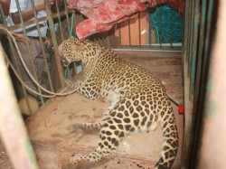 Panther Got Struck Its Head In The Pot In Rajasthan In Search Of Water