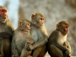 Village Where Monkeys Have Prevented Girls From Getting Mar