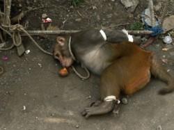 Monkeys Six Month Reign Ends Mumbai
