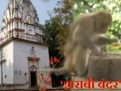 Animal Activists Worried About Alcoholic Monkeys In Uttar Pradesh