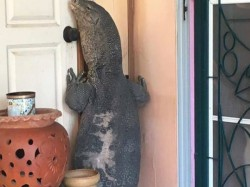 Video What Happen Next When Giant Lizard Visits Home In Thailand