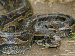 Python Swallows Nilgai Junagadh Distric In Gujarat