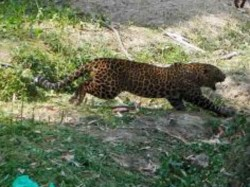 Villagers Run Catch Leopard As It Has Injured Villaage Youth