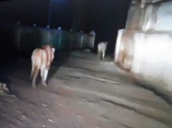 Amreli Lions Killed Two Cows The Village