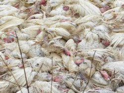 Possible Chances Bird Flu Ahmedabad Government Is Taking In