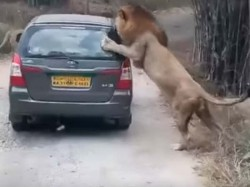 Video Safari Vehicle Being Attacked 2 Lions Bangalore National Part