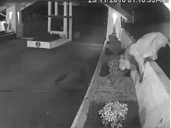 Viral Video When Lion Come Residential Complex Gir