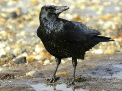 Lucky Unlucky Omens What Crow Tell Us