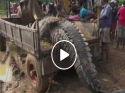 A 17 Foot Crocodile Weighing Almost 1 Ton Is Rescued From A Canal And Released To The River