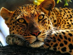 Forest Ranger Jumps Off Roof When Leopard Attacked