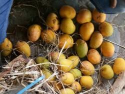 Health Department Raid At Mango Vendors Destroy More Than 500 Kg Mangoes