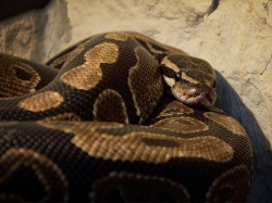 A Man Who Was Missing Was Found A Pythons Stomach
