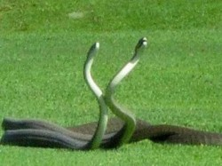 When Battle Between Venomous Snakes Interrupts The Game Golf