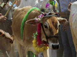 Bjp Congress Clash On Cow Shows In Assembly Election Cow Play Major Role