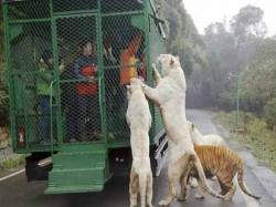 Chinese Zoo Puts Visitors Metal Cages Lets Animals Roam Free
