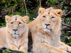 Gujarat Gir Somnath Watch Lioness Four Cubs Strolling Along