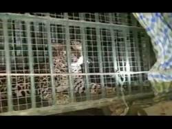 Bhiloda Leopard Caught The Cage