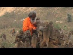 A Man India Gets Completely Swarmed A Barrel Monkeys Who Are