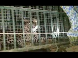 Bhiloda Leopard Caught The Cage