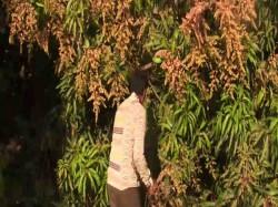 Gir Somnath Good News For Mango Lovers