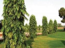 Here Is Health Astro Benefits Ashoka Trees