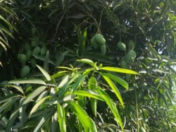 South Gujarat Famous Mango Production Is Expected Fall This