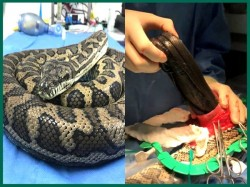Python Slithers Swallows Slipper Surgery Remove Australia
