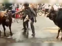 Video A Drunk Man Trying Stop Two Bulls