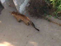 Leopard Enter Pgvcl Substation Girsomanath
