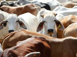 Cows Go Mystery Missing From Shelter Home In Junagadh Gujarat