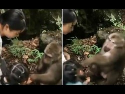 Shocking Moment Monkey Punches Little Girl In The Face In China In Front Of Her Horrified Mum