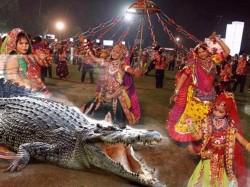 Feet Long Crocodile Interrupted Garaba Vadodara