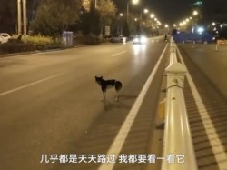 Dog Waiting On The Road 80 Days Where Owner Died