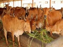 Yogi Government To Impose 0 5 Gau Raksha Excise To Protect Stray Cattle