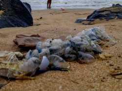 Australia Beaches Shut Down As 2600 People Have Been Stung Bluebottle Jellyfish