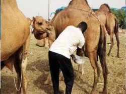 In India First Time Cmmf Launchs Camel Milk