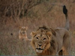 Gujarat Two Lion Found Dead Gir Forest