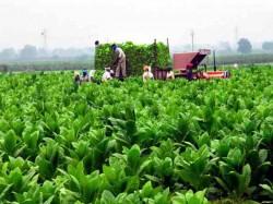 Farmers Making Huge Profits From Tobacco Crop In Gujarat