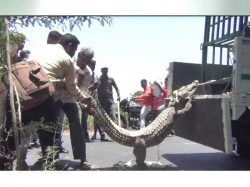 Video 10 Ft Long Crocodile Found On The Amreli Highway In Kodinar