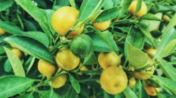 Lemon Remedies To Solve Your Life Problems