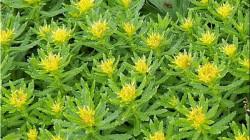 Pm Modi Talk About Plant Rhodiol In Ladakh Called Sanjeevani