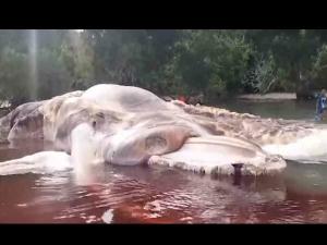 VIDEO: ઇન્ડોનેશિયામાં જોવા મળ્યું અનોખું ભીમકાય પ્રાણી