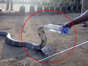 Viral Video Drought Karnataka King Cobra Drinking Water From Bottle