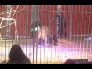 Circus Performer Mauled Lion During Show Watch Video