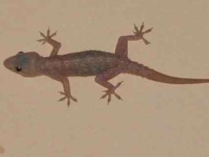 Effects Lizard Or Chipkali Falling On Body Parts