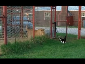 Cat Vs Lion How Kitten Took On Big Cat And Survived To Tell The Tale